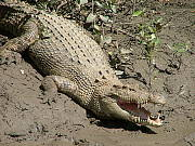 One of the local saltwater crocodiles on Proserpine River